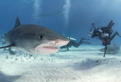 Croisière plongée Tiger Beach Bahamas