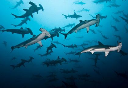Plongée avec les requins marteaux de l'île Coco