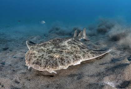 Requin ange à Lanzarote