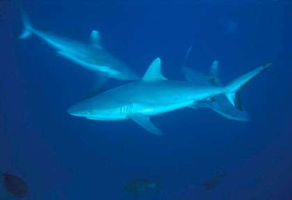 Requins des Maldives
