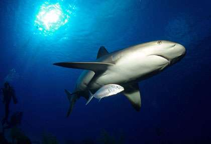Requin au Belize © Belize Aggressor