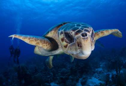 Tortue au Belize © Turneffe Island Resort