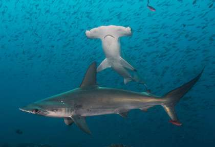 Requins aux Galapagos