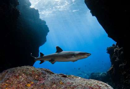 Les requins de Hawaii
