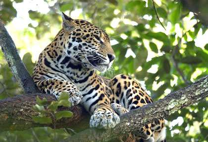 Jaguar au Belize