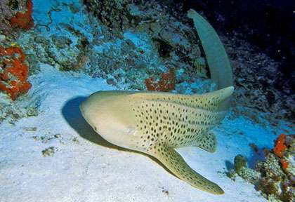 Requin leopard au Maldives